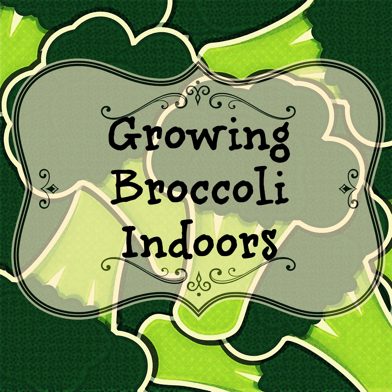 growing broccoli indoors www.yourhealthyyear.com